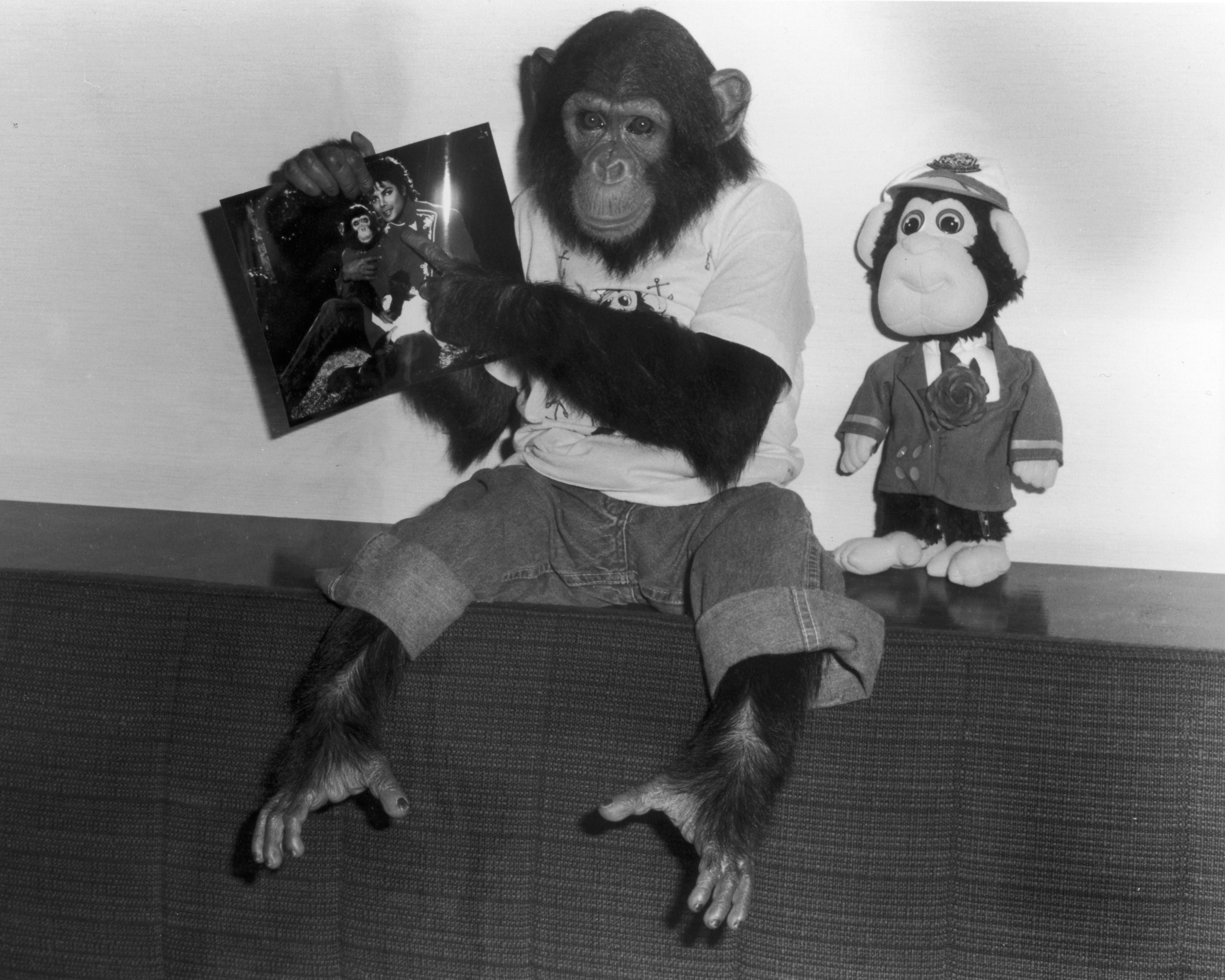 Portrait of Bubbles, a chimpanzee owned by popular entertainer Michael Jackson, dressed in jeans and a t-shirt, holds up a photo of himself and the singer, while a plush Bubbles doll stands beside him, Tokyo, Japan, 1987. (Photo by Hulton Archive/Getty Images)